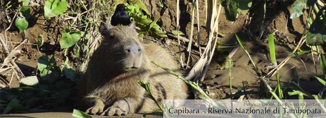 eco lodge di tambopata: capibara