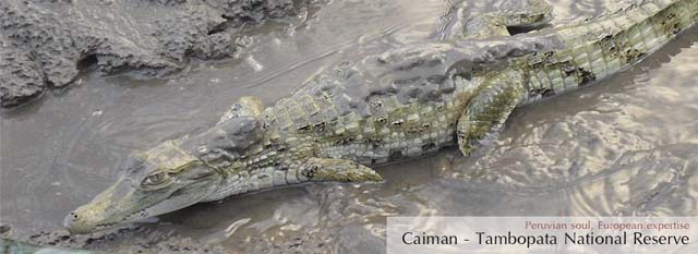 Tambopata Eco Lodge: caiman