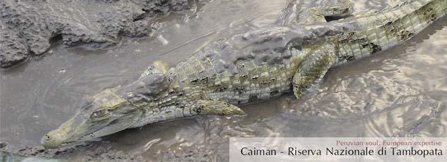 eco lodge di tambopata: caiman